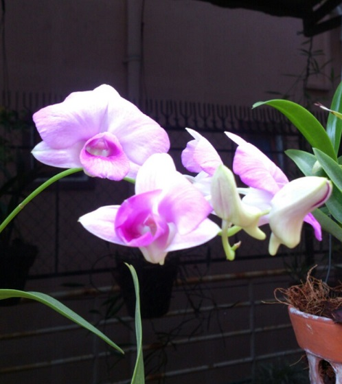May orchid bloom