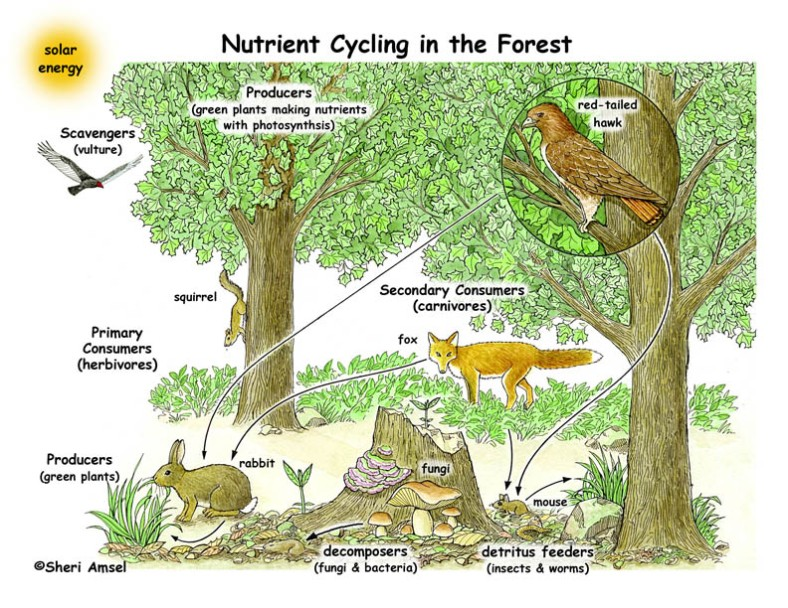 Nutrient_cycling_forest72